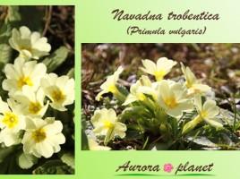 Zdravilna znanilka pomladi