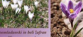 Žafran – aromatična in...